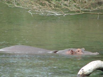Flusspferd - Masai Mara Safari