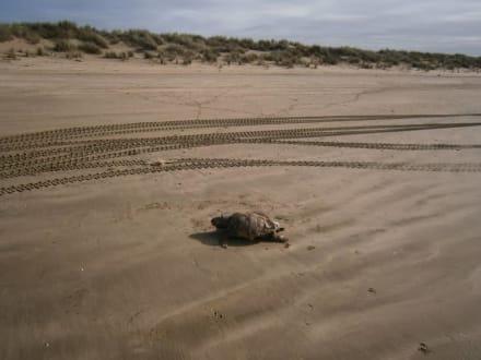 Tote Schildkröte am Strand - Nationalpark Coto de Doñana
