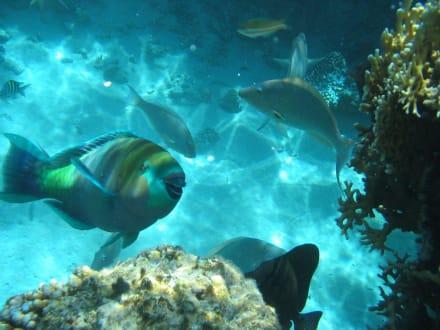 Papageienfisch - Tauchen Sharm el Sheikh