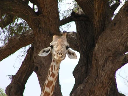 Giraffe in Tsavo Ost - Tsavo Ost Nationalpark