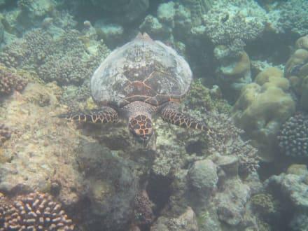 Tortuga - Schnorcheln Hausriff Summer Island Village Nord-Malé-Atoll