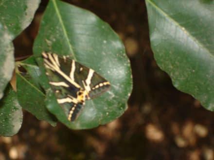 Schmetterling aus dem Schmetterlingstal - Peta Loudhes / Tal der Schmetterlinge