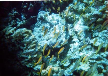 Hausriff - Schnorcheln Makadi Bay