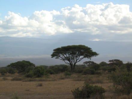 Schirmakazie - Nationalpark Kilimandscharo / Kilimanjaro