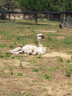 Entspanntes Lama - Efe's Ausflüge