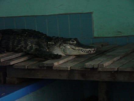 Alligator in der Alligator Action Farm - Alligator Action Farm