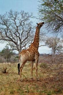 Giraffe - Krüger Nationalpark