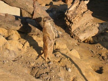 Erdmännchen - ZOOM Erlebniswelt Gelsenkirchen (Zoo)