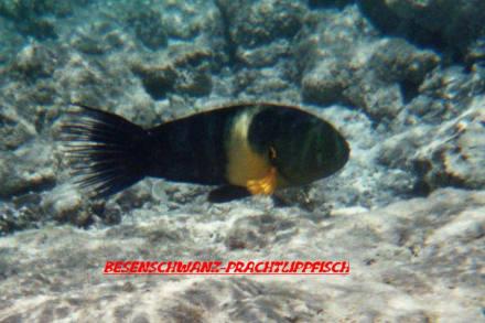 Fisch - Schnorcheln Sharm el Sheikh