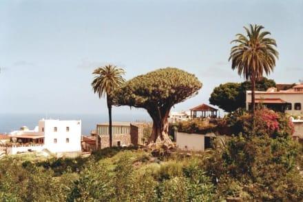 Drago Milenario - der 1000 jährige Drachenbaum, Icod de los  - Parque del Drago