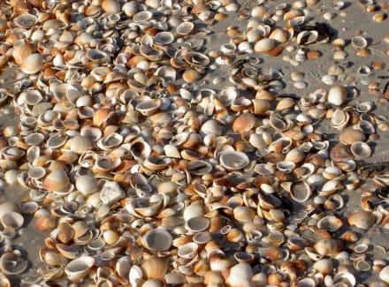 Muscheln ohne Ende - Strand Mahdia