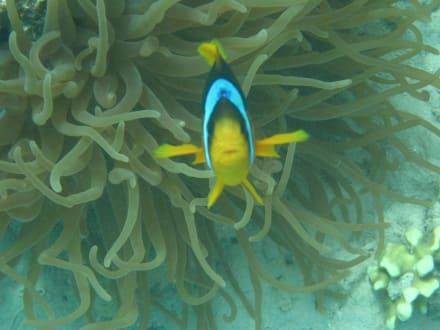 Clownfisch 2 - Tauchen Marsa Alam