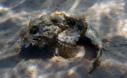 Scorpionsfisch - Tauchen Marsa Alam