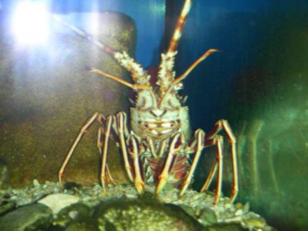 Languste - Aquarium