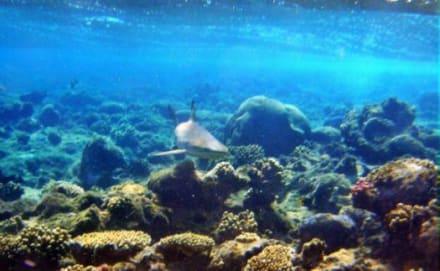 Mein erster Hai - Tauchen Marsa Alam