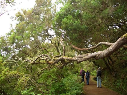 Erikabäume quer zum Weg - Levadawanderung