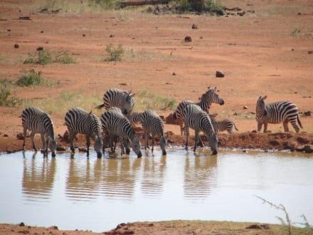 Zebras - Tsavo West Nationalpark