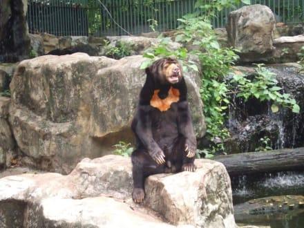 Malayenbär - Dusit-Zoo