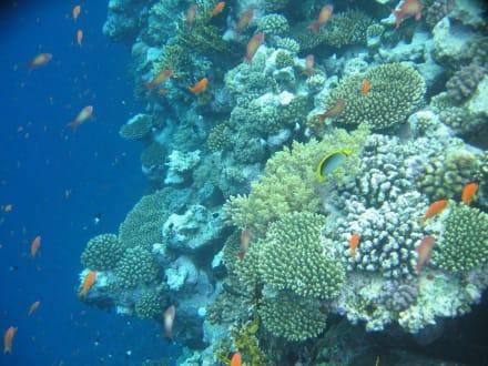 Korallenriff - Tauchen Nabq Bay