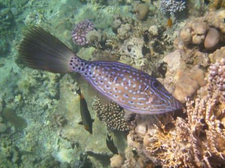 Pfeilenfisch - Schnorcheln Sharm el Sheikh
