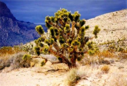 Joshua Tree - Joshua Tree National Park