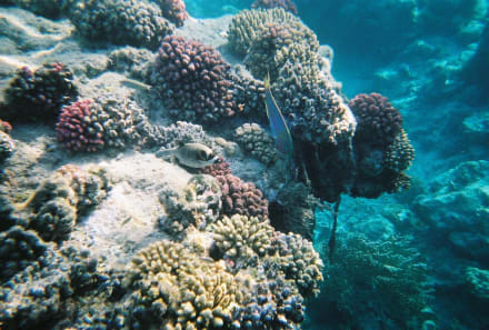 Unterwasser am Hausriff - Schnorcheln Safaga