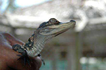 Baby Alligator - Gator Park