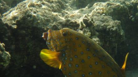 Fische - Schnorcheln Taba Heights