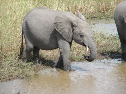junger Elefant - Masai Mara Safari