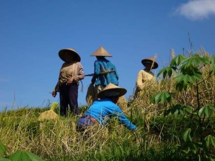 Reisbauern bei der Arbeit - Reisterrassen