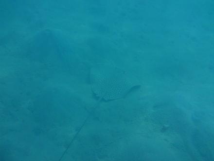 Rochen - Schnorcheln Makadi Bay