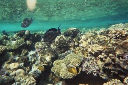 Fantastisches Hausriff - Schnorcheln Sharm el Sheikh