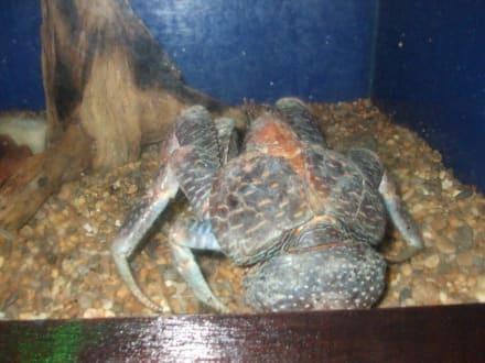Eine riesen Krabbe - Underwater World