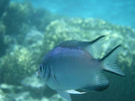 Schönes Fischi - Schnorcheln Dolphinhouse Marsa Alam