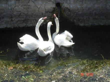 Schwäne im Gardasee - Gardasee