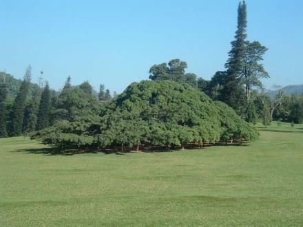 Baum - Botanischer Garten Peradeniya