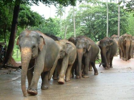 Zum Bad - Elefantenwaisenhaus Pinnawela