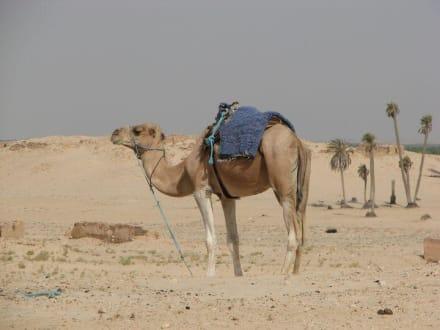 Ein Kamel - Saharaausflug