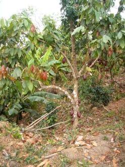 Kakaopflanze - Playa Esmeralda - Punta del Rey