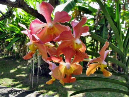 Blüte - Bali Orchideen Garten Denpasar