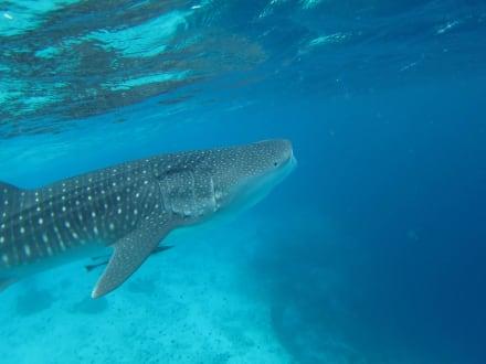 Fische - Schnorcheln Ari Atoll