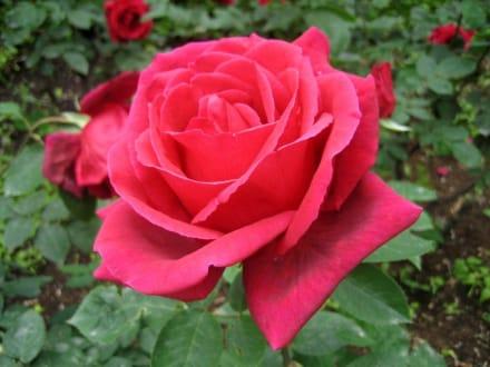 Rosenrot... - Königlicher Botanischer Garten Madrid