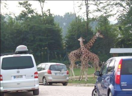 Giraffen - Natura Viva Park