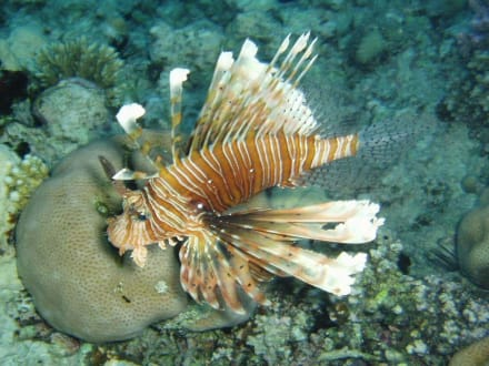 Rotfeuerfisch - Ausflug mit Mohamed