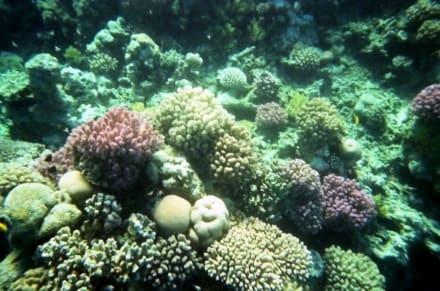 Korallen Nordstrand - Hausriff Hotel Lahami Bay Berenice