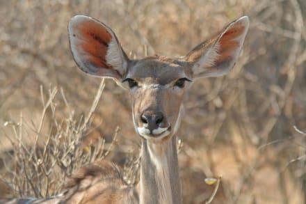 Frau Kudu schaut neugierig herüber - Etosha Nationalpark