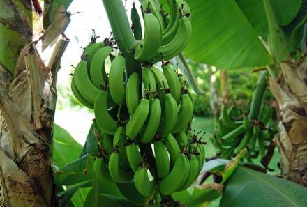 eine von vielen bananenstauden im garten bild clubhotel riu karamboa in sal rei boavista. Black Bedroom Furniture Sets. Home Design Ideas