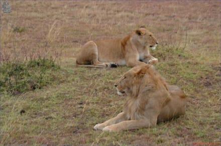 Löwenpärchen - Kenia - Masai Mara Safari