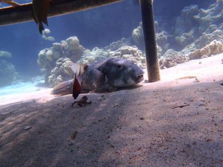 In 2 m Tiefe - Tauchen Samaya Hausriff Marsa Alam