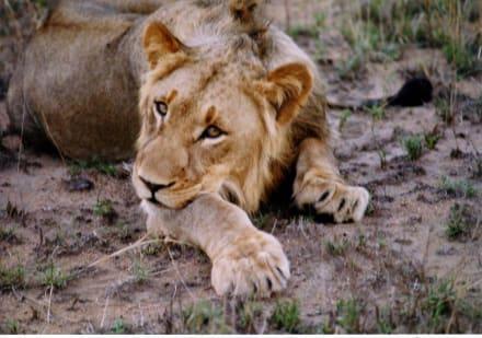 Löwe in Bongani - Krüger Nationalpark